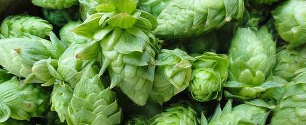 Chmel z různých částí světa dodává pivu jinou chuť a vůni.