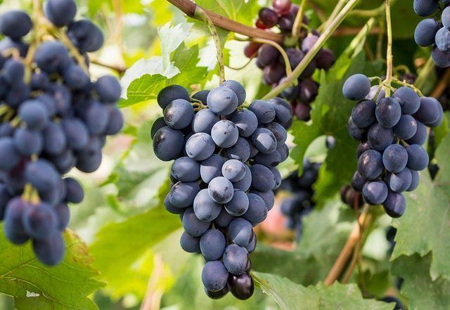 fotografija grozdja saperavi