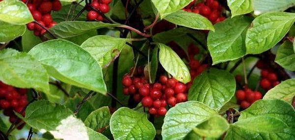 Beneficiile și nocivile tincturii de lemongrass