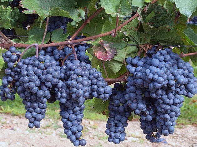 грозје за производство на вино Ешер