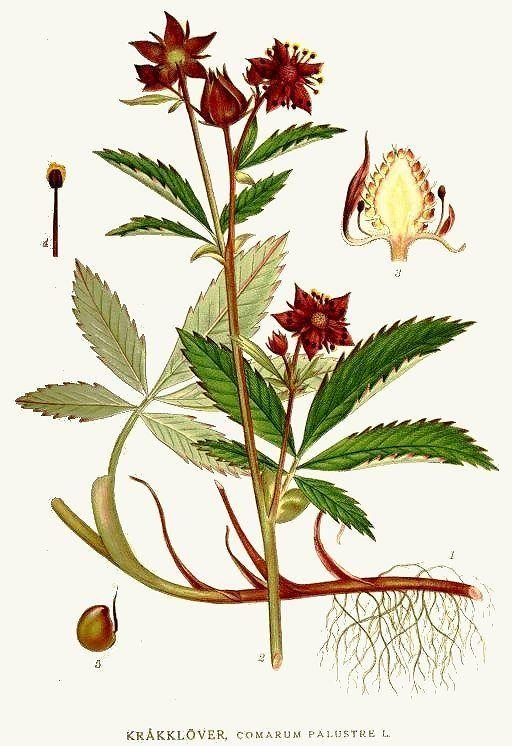 plantă cinquefoil de mlaștină