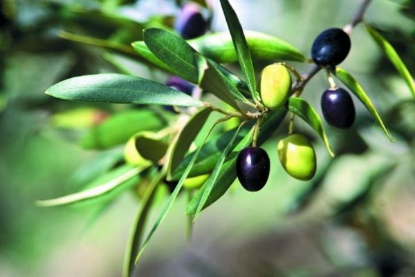 fotografie oliv a oliv pro martini
