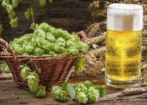 Пиво з хмелю для початківців пивоварів