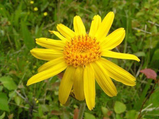 fotografie floare de arnica