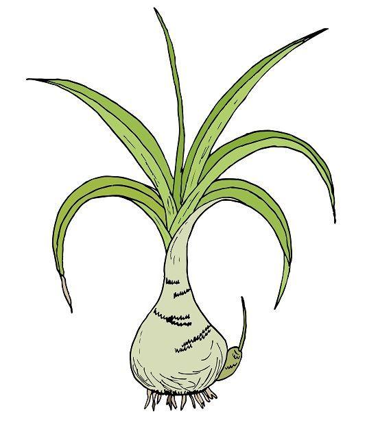 desenarea plantelor ceapă indiană
