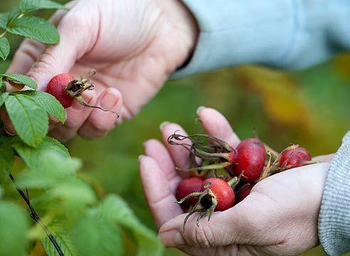 cules fructe de padure