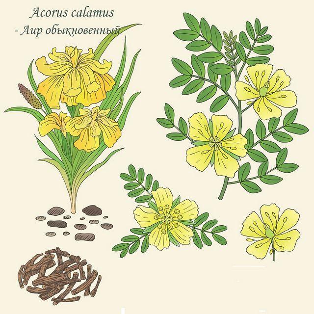 fotografia plantei mlaștină calamus