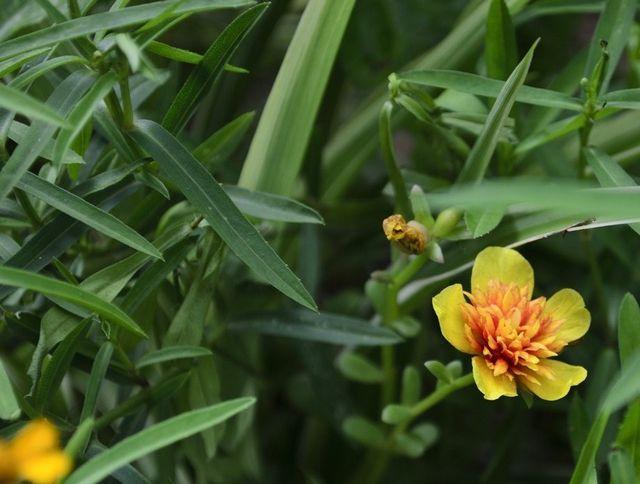 planta tarhon pentru fabricarea tincturii